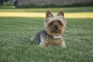 Dog Guard® Yorkie
